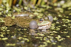 Marsh frog, Rana ridibunda Stock Photos