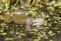 Marsh frog, Rana ridibunda Stock Photos