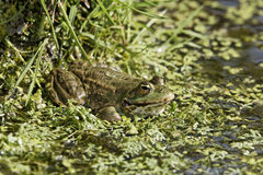 Marsh frog, Rana ridibunda Stock Photo