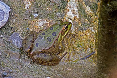 Marsh Frog - Rana ridibunda Royalty Free Stock Photo