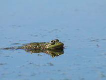 Marsh Frog, Rana ridibunda Royalty Free Stock Images