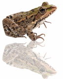 Marsh Frog and reflection isolated on white Royalty Free Stock Photography