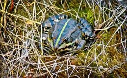 Marsh Frog si è accovacciato nell'erba. Immagini Stock