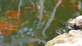 Marsh frog sits in the clean pond stock video