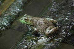 Marsh frog sits on a green leaf. stock photography