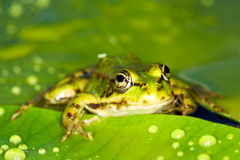 Marsh frog Royalty Free Stock Photography