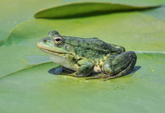 Marsh frog Stock Images