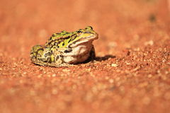 Marsh frog Stock Photo