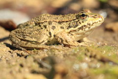 Marsh frog Stock Image