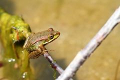 Marsh frog on a twig Royalty Free Stock Photography