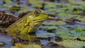Marsh Frog Breathing stock footage