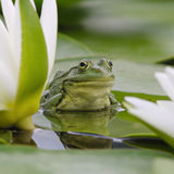 Marsh frog among white lilies Stock Image