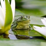 Marsh frog among white lilies Stock Photography