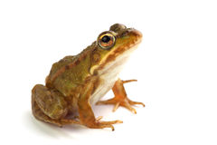 Marsh frog on white looking up Royalty Free Stock Photography