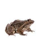 Marsh Frog on white, Pelophylax ridibundus Stock Photography