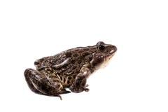 Marsh Frog on white, Pelophylax ridibundus Royalty Free Stock Photography