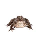 Marsh Frog on white, Pelophylax ridibundus Stock Photos