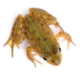Marsh frog  on white Stock Photo
