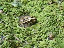 Marsh frogg Royalty Free Stock Image