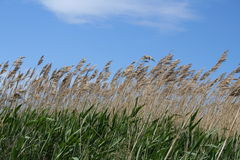 Marsh grass Royalty Free Stock Photography