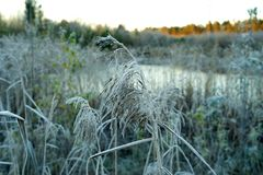 Marsh grass in hoarfrost on a background of yellow autumn sun Royalty Free Stock Photos