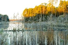Marsh grass in hoarfrost on a background of yellow autumn sun Stock Image