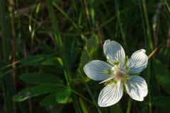 Marsh Grass-of-Parnassus Stock Photos