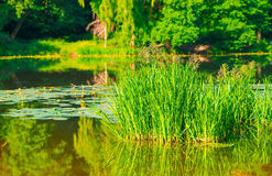Marsh grass and water lilies Royalty Free Stock Photo