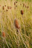 Marsh Grasses. In late afternoon light. Closeup of flower stalk Royalty Free Stock Image