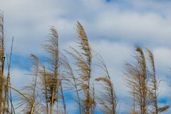 Marsh grasses blowing in the wind. With a cloudy and blue sky in the background in a park by a lake in Southern California Royalty Free Stock Photography