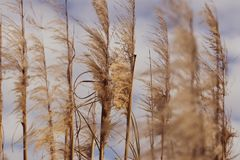 Marsh grasses blowing in the wind. With a cloudy and blue sky in the background in a park by a lake in Southern California Royalty Free Stock Images