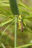 Marsh Grasshopper fotografie stock