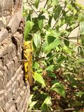 Marsh Grasshopper, grossum di Stethophyma immagini stock libere da diritti