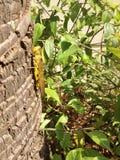 Marsh Grasshopper, grossum di Stethophyma fotografia stock libera da diritti