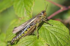 Marsh Grasshopper - Stethophyma grossum - makroskott Fotografering för Bildbyråer