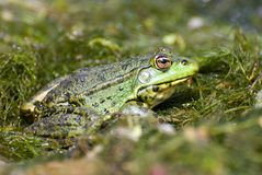 Marsh green big frog sitting in the water Royalty Free Stock Photos