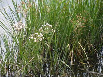Marsh green grass with white buds Stock Photography