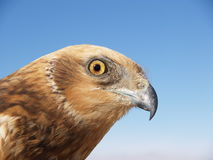 Marsh harrier. (Circus aeruginosus) portrait on blue background Stock Photo