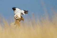 Marsh Harrier Royalty Free Stock Photo