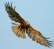 Marsh Harrier. With a prey Stock Images