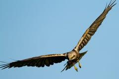 Marsh Harrier Royalty Free Stock Photography