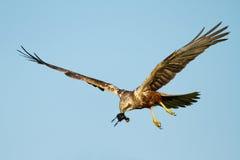 Marsh Harrier Stock Photography