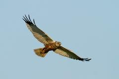 Marsh Harrier Stock Image