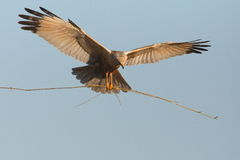 Marsh Harrier Royalty Free Stock Photos