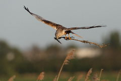 Marsh harrier. Flying with nest material Royalty Free Stock Photography