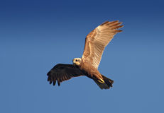 Marsh Harrier (Circus Aeruginosus) Royalty Free Stock Photos