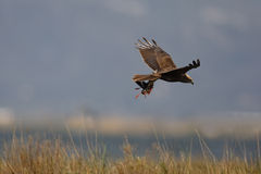 Marsh harrier, Circus aeruginosus, Stock Photography