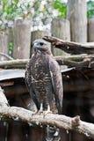 Marsh harrier (Circus aeruginosus) Stock Photography