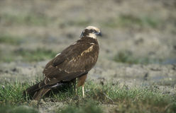 Marsh harrier, Circus aeruginosus Stock Photos