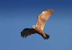 Marsh Harrier (Circusaeruginosus) Royalty-vrije Stock Foto's